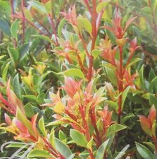 BLAZE LILLY PILLY Syzygium native vibrant orange-red new growth plant 140mm pot