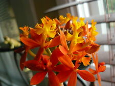ORANGE CRUCIFIX / Epidendrum Orchid plant - 1 plant