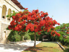 10 Pcs Delonix regia seeds Outdoor bonsai tree seeds Flame of forest red flowers