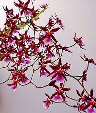 Odontoglossum Kathrin Z. Duft panaschiert blühstarke Pflanze Orchidee Orchideen