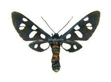 Unmounted Butterfly/Arctiidae - Amata (Syntomis) mogadorensis, FEMALE, Morocco