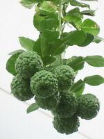 New Best Seeds Of Thai KAFFIR Lime Seeds, Organic Seeds From Thailand 30 Seeds.
