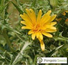 Scolymus Hispanicus 100 Seeds Golden Spanish Thistle Edible Ascrolybros Cretan