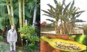 Zwei winterharte Riesen im Garten: Bambus und Banane !