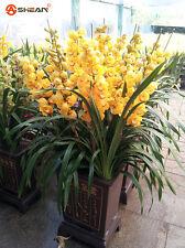 100 Yellow Cymbidium Seeds Garden Terrace Orchid Bonsai Seeds Bonsai
