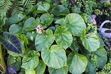Begonia chitoensis - 1 plant - frost hardy