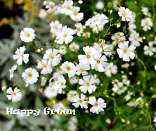 BABY'S BREATH WHITE - 3500 seeds - Gypsophila Elegans - wedding bouquet - Flower