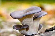 100+ Organic KING OYSTER Mushroom Plug Spawn~Gourmet Grow Kit ~Log Cultivation