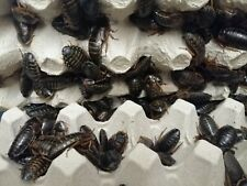 Dubia Roaches Small, Medium, Large Reptile Livefood