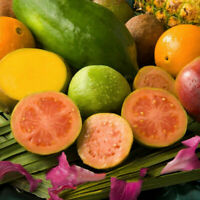 80pcs Echte Guave Samen Psidium Guajava Guava Leckeres Obstsamen Früchte Garten