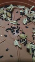 Semillas Gasteria REALES 10 semillas planta suculentas cactus crasas