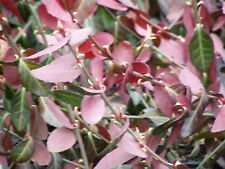 Purple Wintercreeper Euonymus 250 Bare Root Ground Cover Plants FREE SHIPPING