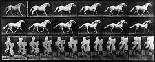 Eadweard Muybridge Photo, Motion Study, White Horse trotting, 1880s, 17x11