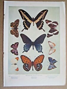 ANTIQUE 1900 BUTTERFLY BUTTERFLIES INSECTS LITHOGRAPH PRINT #2