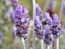 200mg Organic English Lavender Vera Seeds 200ct ~Herbal Remedy ~Antiseptic Oil