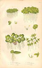 1860 CA Antiguo-Anne Pratt-Impresión Botánica variedades lenteja de agua
