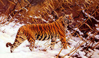 Oil painting hugo ungewitter - siberian tiger in a snowy landscape no framed art