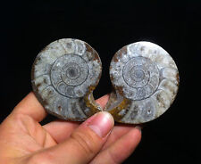 Superbe ammonite goniatite fossile sciée du Maroc!!