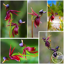 Series Orchid Plants Seeds Flying Duck Orchid Seeds Series Orchid Plants Seeds