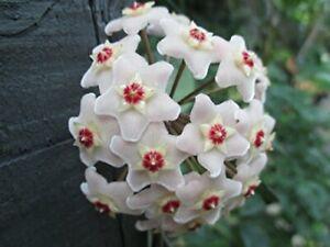 Hoya carnosa cutting - wax plant