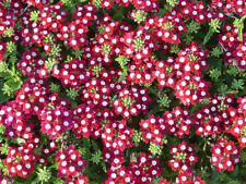 50 Seeds Verbena Obsession Crimson With Eye Verbena Seeds