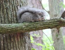 METAL FRIDGE MAGNET Eastern Gray Squirrel Laying In Tree Tail On Back Squirrels
