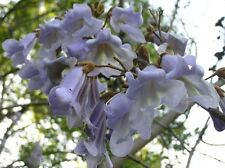40 PRINCESS TREE ( ROYAL PAULOWNIA ) SEEDS - Paulownia tomentosa