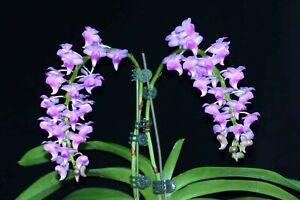 RON Orchid Aerides Aer. odorata (Pink x sib) SPECIES 90mm Hanging Pot NFS