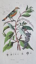 Gravure en couleur du XIXè s. Phytolaque. Phytotome. Botanique. Ornithologie