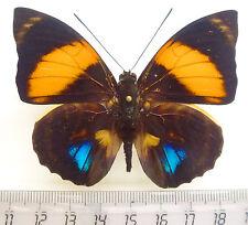 Agrias amydon ssp. athenais forma inflamea  M ex Ecuador, Top Rarity!!!  n139