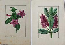 ANNICA BRICOGNE 2 superbes aquarelles originales Botanique XIXe s. Horticulture