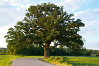 2 Florida Native Oak Tree Sapling LIVE PLANT SEEDLING Bush/shrub/tree