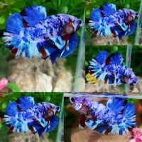 Blue Fancy S1 Halfmoon Plakat Male - IMPORT LIVE BETTA FISH FROM THAILAND