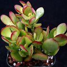 Crassula ovata jade Dollar Tree Money Plant Cactus Succulent Plant