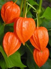 Chinese Lantern (Physalis alkekengi) 50 seeds Exotic *Showy Easy grow CombSH D52