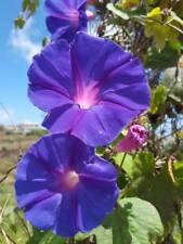 de Diego Jour ipomea purpurea 40 graines frescas