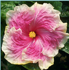 *Pink Parasol* Rooted Tropical Hibiscus Plant*Ships Bare Root*