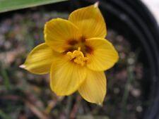 Rain Lily, Habranthus Tubispathus var. Texanus #01, 2 bulbs, NEW, zephyranthes