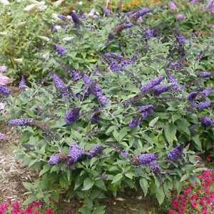 BUDDLEIA 'PUGSTER BLUE'  BUTTERFLY BUSH-- PLANT-APPROX 7-10 INCH -3 X 4 INCH POT