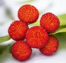 ☺20 graines d arbousier. Arbre aux fraises