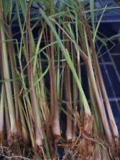 Lot of 15 Healthy Rooted Tropical Organic Lemongrass Plant Stalks Cymbopogan