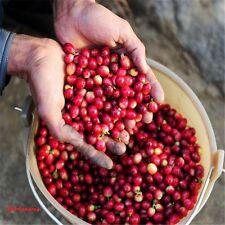 10 Graines Cafe Arabic Coffee , Coffea Arabica seeds