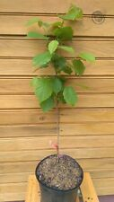 New listing 5 12� – 18� single trunk American Hazelnut Trees – Corylus americana – dormant