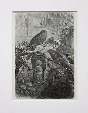Oil Bird - Antique Victorian B/W Print, Wood Engraving, Mounted