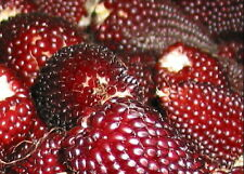 RED POPPING CORN STRAWBERRY 80 SEEDS