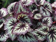 rex begonia Plant  - Beautiful House Plant 1-live Seedling 🌱