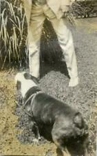 Mm398 Vtg Photo Boston Terrier In Harness With Man In Suit c Early 1900's