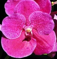 VANDA PURE WAX PINK seedling orchid plant in 100mm hanging pot