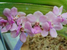 "Rhynchostylis gigantea Pink Flowers 6"" basket Nice Plant 2/17/21"
