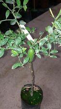 Pianta di limone caviale FINGER LIME ROSSO  in fitocella (foto reali)